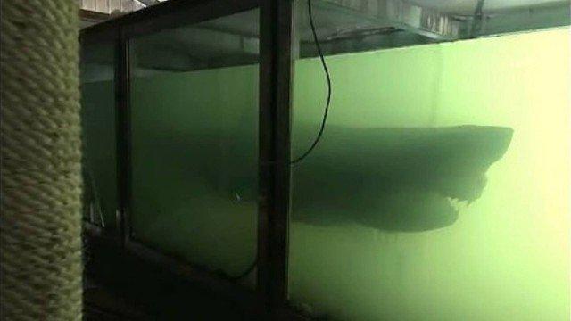 Tubarão branco abandonado em tanque de formol durante sete anos