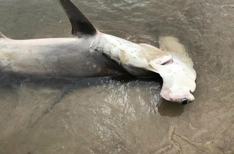 Tubarão martelo em Santa Catarina