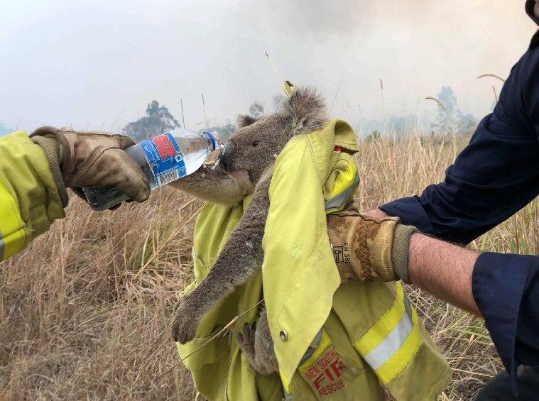 Bombeiros salvam coala durante incêndios na Austrália