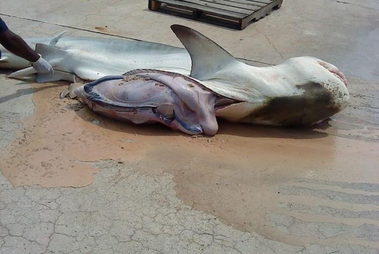 Tubarão com restps de jovens desaparecidos é capturado no Maranhão