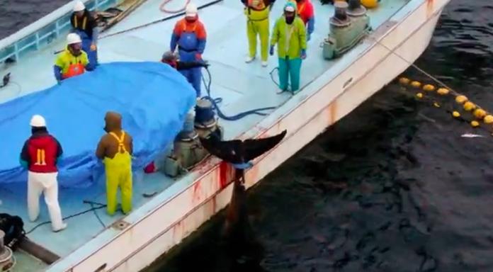 pescadores matam baleia-minke