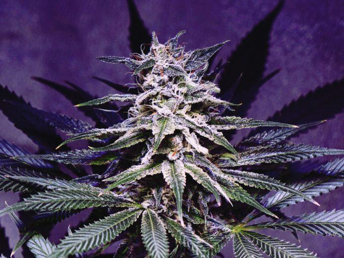cannabis e o cérebro