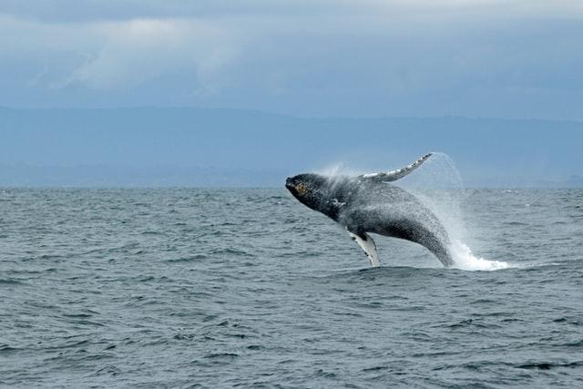 Baleias azuis voltam para o mar da Espanha após 40 anos
